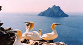 Gannets on The Skelligs